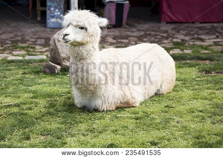 Cute Little Baby Alpaca From Peru Lying On The Green Grass