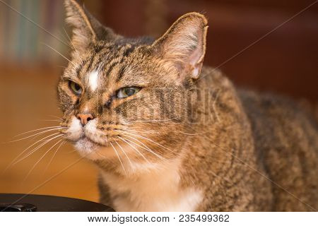 Brown, Black, And White Cat With Green Eyes Staring Blankly At Something.