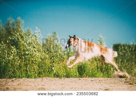 Fast Running Adult Russian Wolfhound Hunting Sighthound Russkaya Psovaya Borzaya Dog Outdoors In Sun