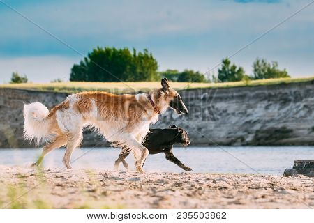 Russian Wolfhound Hunting Sighthound Russkaya Psovaya Borzaya Dog And Black Small Size Mixed Breed D