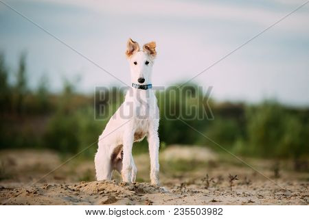 Puppy Of Russian Wolfhound Hunting Sighthound Russkaya Psovaya Borzaya Dog  Sitting Outdoors