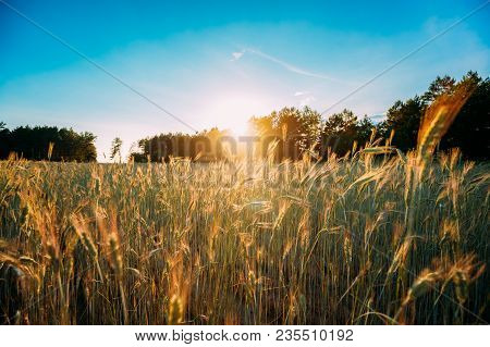 Summer Sun Shining Over Agricultural Landscape Of Green Wheat Field. Young Green Wheat In Sunset Daw