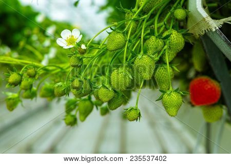 Bio Farming In The Netherlands, Dutch Glass Greenhouse With Strawberry Plants Growing In Raised Beds