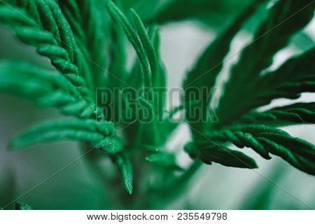 Macro Cannabis Beautiful Background, Young Beautiful Indoor Cultivation, Plant Medical Marijuana Mar