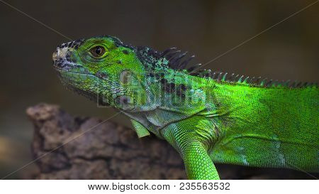Closeup Portrait Of Green American Common Iguana On A Tree Arboreal Species Of Lizard Reptile