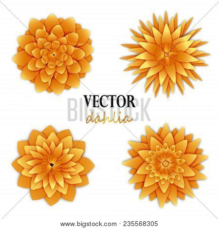 Yellow Orange Dahlias Collection. Top View On Flowers. Elements For Floral Design. Vector Illustrati