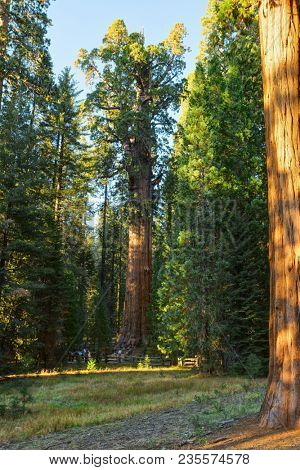 A view of the General Sherman -  giant sequoia (Sequoiadendron giganteum)  in the Giant Forest of Sequoia National Park, Tulare County, California, United States.