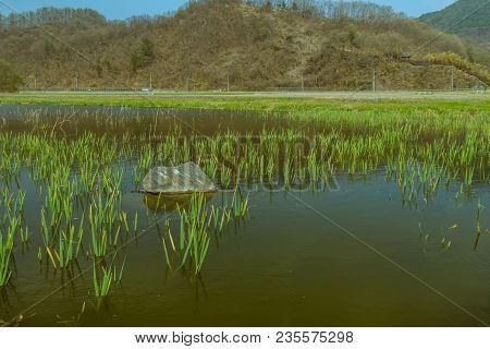 Landscape Of Pond With Large Boulder Surrounded By Young Green Reeds With Tree Covered Mountain And