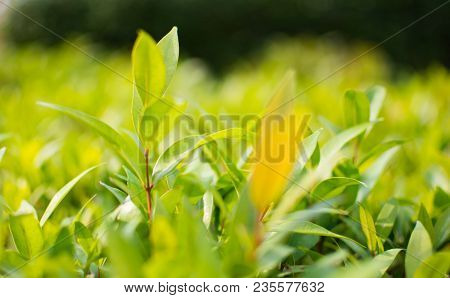 This Is The Close Up Picture Of Ixora Leaves. Its Flowers Are Called Needle, A Small Tree With Green