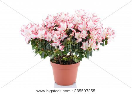 Blooming Plant Of Azalea In Flower Pot Isolated On White Background