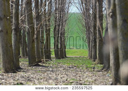 Forest Trees Tunel In Spring Time, Landscape