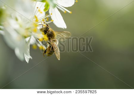 Bee On White Plum Flower With Pollen In Springtime. Close Up Macro Of Bee On Plum Blossom.