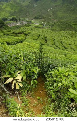 Tea Farm Sunrise Scenery From Hill Top Of Cameron Highland, Malaysia. Amazing Hill Wave Look And Ter