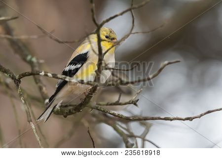 American Goldfinch Bird Perched In A Tree