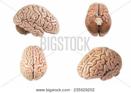 Artificial Human Brain Model In Four Different View Including Top, Side, Bottom And Oblique View Iso