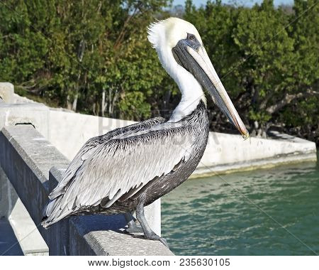 Brown Pelican In The Florida Keys, Standing On Bridge.