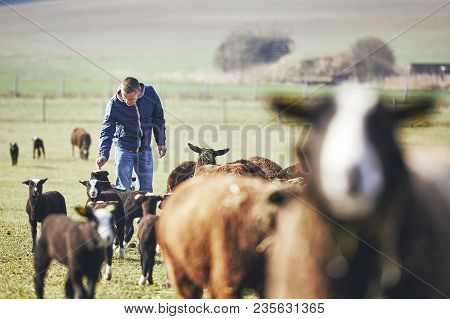 Sunny Morning On The Rural Farm. Cheerful Young Farmer Carries  Herd Of Black And Brown Sheep.