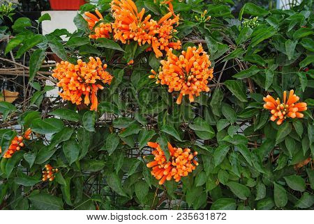 Pyrostegia Venusta, Orange Color Trumpet Shape Flower , Sankrant Vel Plant