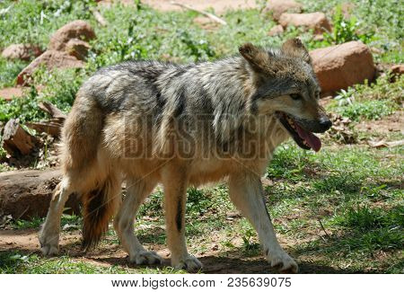 Mexican Grey Wolf Full Body Shot A Mexican Grey Wolf Walking With Mouth Open