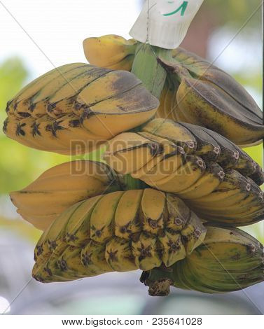 Bunches Of Ripe Yellow Saba Bananas Ready For Cooking Or Eating