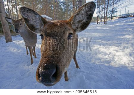 Closeup Of Funny Face Of Curious Young Roe Deer In Winter Forest