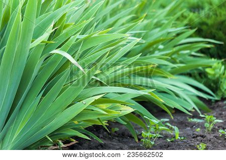 Green Leaves Of Iris Flowers. Green Grass In Early Morning. Fresh Natural Background.