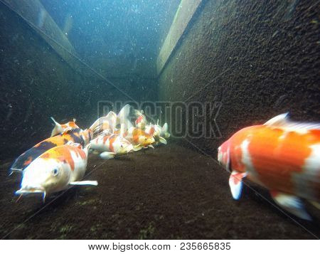 Koi Carp,group Of Japanese Fish Underwater In Koi Pond With Oxygen Bubbles In Background.