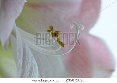 Close Up Of Amaryllis Stigma And Anther