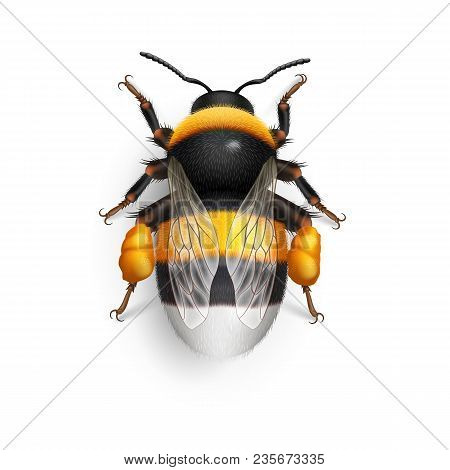 Illustration Of Bumblebee Species Bombus Terrestris Common Name Buff-tailed Bumblebee Or Large Earth