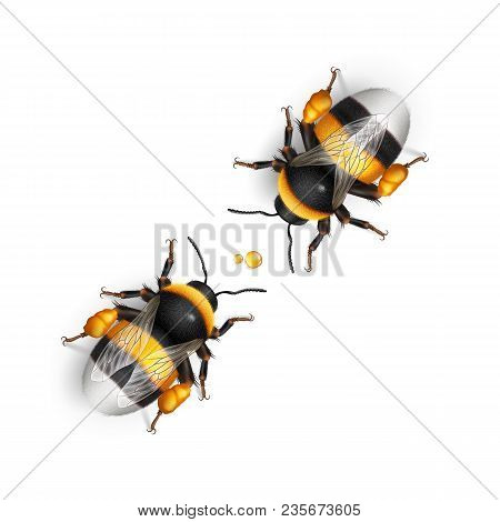 Illustration Of Two Bumblebee Species Bombus Terrestris Common Name Buff-tailed Bumblebee Or Large E