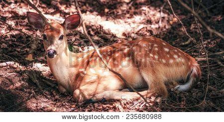 White Tail Doe, Deer Lying Down In Woods