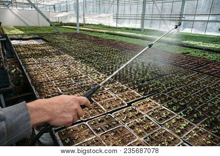 Gardener Worker In Greenhouse Or Hothouse Spaying Young Seedlings With Water From Sprinkle, Aerosol