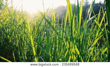 Beautiful Grass Leaf With Sun Rays In Morning. Grass Leaf Nature Background Image