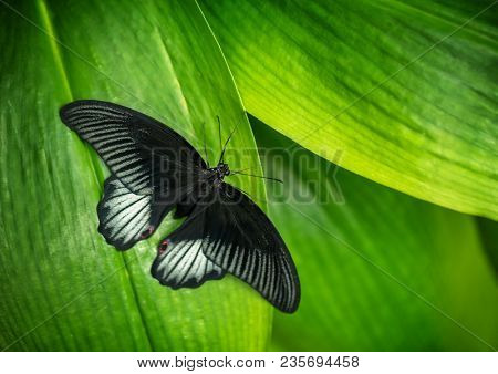 Beautiful butterfly Beautiful butterfly Great Mormon, Papilio memnon in tropical forest in tropical forest sitting on green leaves. Tropical nature of rain forest, butterfly insect macro photography.