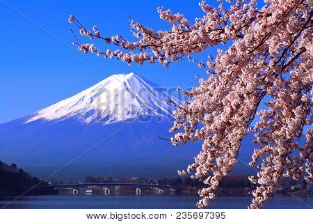 Cherry Blossoms In Full Bloom From The Northern Coast Of Lake Kawaguchi And Mt. Fuji In Blue Sky 04/