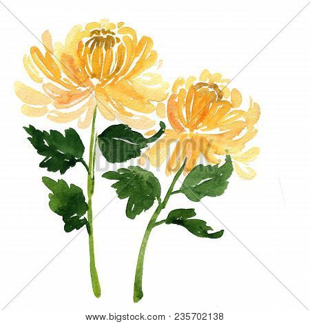 Two Sketch Watercolor Yellow Chrysanthemum Flowers Isolated On White Background. Beautiful Stylized