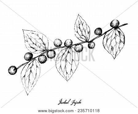 Berry Fruit, Illustration Hand Drawn Sketch Of Jackal Jujube Or Ziziphus Oenoplia Fruits Isolated On