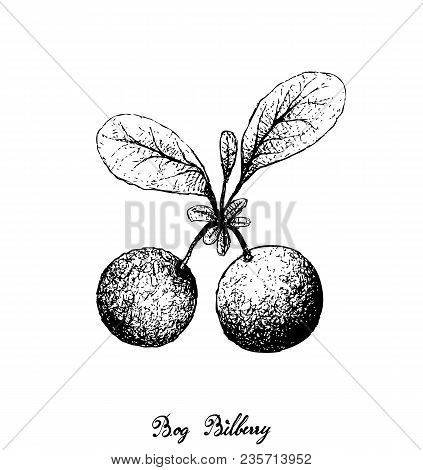 Berry Fruit, Illustration Hand Drawn Sketch Of Bog Bilberry Or Vaccinium Uiginosum Fruits Isolated O