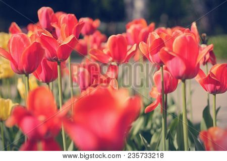 Field Of Red Flowers, Perfect For Any Background.