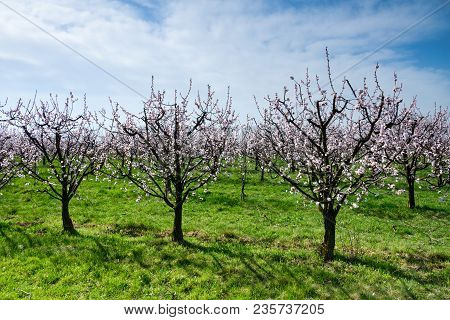 Blossoming Apricot Trees On A Field In The Springtime