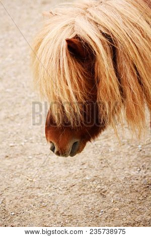 Head Of Chestnut Shetland Pony Horse With Big Quiff