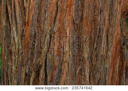 West Coast Redwood, Bark Of Trees Close-up