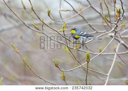 Yellow Rumped Warbler At Vancouver Bc Canada