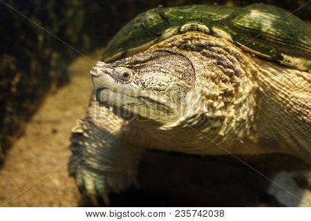 Common Snapping Turtle (chelydra Serpentina) In The Oceanarium.