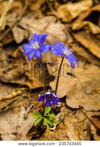 Creative Image Of A Spring Wild Beautiful Snowdrop Against A Background Of Old Foliage. Hepatica Nob