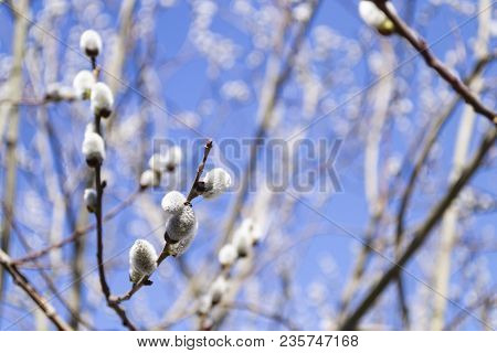 Willow Branches With Fluffy Catkins On Blue Sky Background. Spring. Easter
