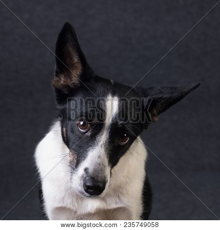 Mixed Breed Dog Portrait On Grey Background With Cute Face