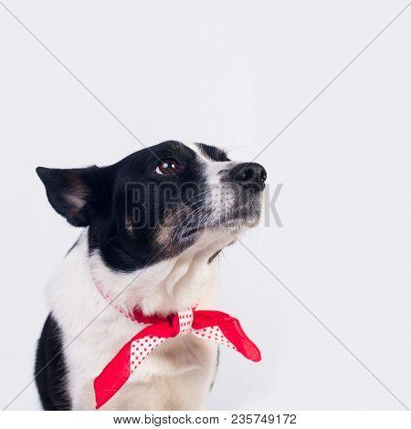 Mixed Breed Dog Portrait On White Background