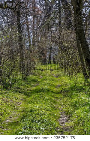 Woodland Walking And Hiking Pathway With Tall Trees At Early Spring. Early Spring Landscape. A Woodl