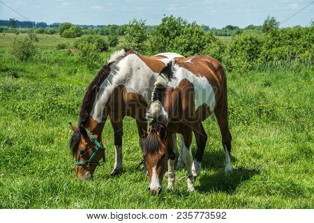 Two Speckled Horses Tweak The Grass In A Meadow